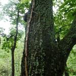 Trumpet-creeper (Campsis radicans)