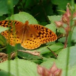 Great Spangled Fritillary butterfly (Speyria cybele)