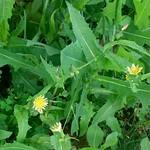 Spiny-leaf Sow Thistle (Sonchus asper)