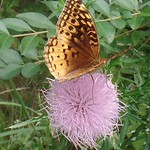 Great Spangled Fritillary butterfly (Speyeria cybele) on Field Thistle (Cirsium discolor)